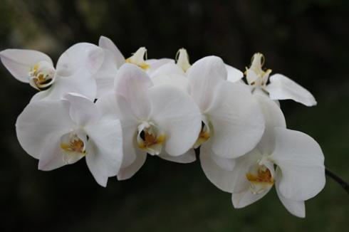 Orchids3