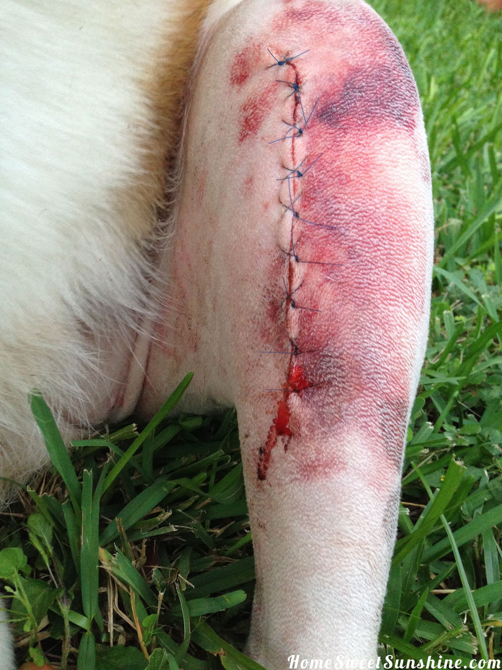Dog S Meniscus Tear After Tplo